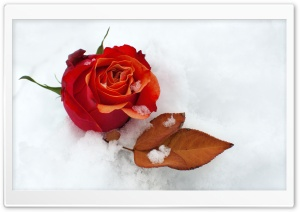 Winter Rose HD Wide Wallpaper for Widescreen
