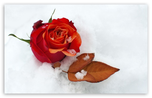 Download Winter Rose HD Wallpaper
