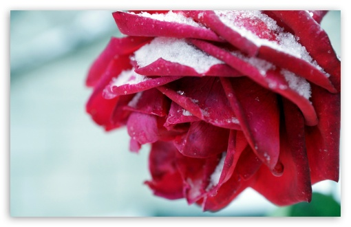 Winter Rose ❤ 4K UHD Wallpaper for Wide 16:10 5:3 Widescreen WHXGA WQXGA WUXGA WXGA WGA ; 4K UHD 16:9 Ultra High Definition 2160p 1440p 1080p 900p 720p ; UHD 16:9 2160p 1440p 1080p 900p 720p ; Standard 4:3 5:4 3:2 Fullscreen UXGA XGA SVGA QSXGA SXGA DVGA HVGA HQVGA ( Apple PowerBook G4 iPhone 4 3G 3GS iPod Touch ) ; Tablet 1:1 ; iPad 1/2/Mini ; Mobile 4:3 5:3 3:2 16:9 5:4 - UXGA XGA SVGA WGA DVGA HVGA HQVGA ( Apple PowerBook G4 iPhone 4 3G 3GS iPod Touch ) 2160p 1440p 1080p 900p 720p QSXGA SXGA ;