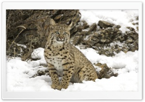 Winter Snow Bobcat HD Wide Wallpaper for Widescreen