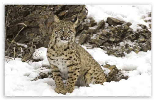 Winter Snow Bobcat HD wallpaper for Wide 16:10 5:3 Widescreen WHXGA WQXGA WUXGA WXGA WGA ; HD 16:9 High Definition WQHD QWXGA 1080p 900p 720p QHD nHD ; Standard 4:3 5:4 3:2 Fullscreen UXGA XGA SVGA QSXGA SXGA DVGA HVGA HQVGA devices ( Apple PowerBook G4 iPhone 4 3G 3GS iPod Touch ) ; Tablet 1:1 ; iPad 1/2/Mini ; Mobile 4:3 5:3 3:2 16:9 5:4 - UXGA XGA SVGA WGA DVGA HVGA HQVGA devices ( Apple PowerBook G4 iPhone 4 3G 3GS iPod Touch ) WQHD QWXGA 1080p 900p 720p QHD nHD QSXGA SXGA ;