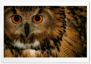 Wise Old Owl HD Wide Wallpaper for Widescreen
