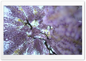Wisteria Vine HD Wide Wallpaper for Widescreen