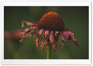 Withered Coneflower HD Wide Wallpaper for Widescreen