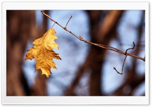 Withered Oak Leaf, Autumn HD Wide Wallpaper for Widescreen