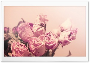 Withered Pink Roses HD Wide Wallpaper for Widescreen