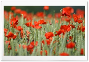 Withered Poppies HD Wide Wallpaper for Widescreen
