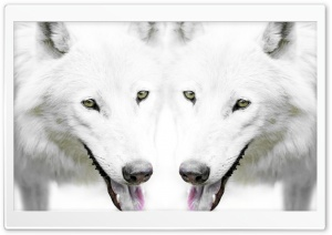 Wolf HD Wide Wallpaper for Widescreen