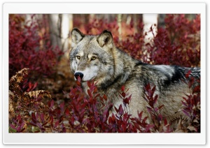Wolf, Autumn HD Wide Wallpaper for Widescreen