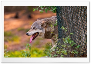 Wolf Behind The Tree HD Wide Wallpaper for Widescreen