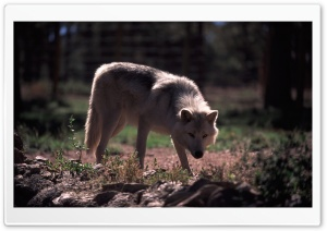 Wolf by Dave Johnson HD Wide Wallpaper for Widescreen