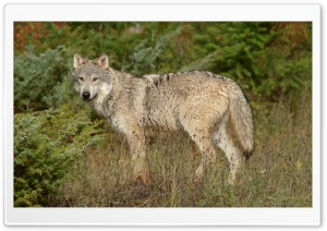 Wolf In Clearing Montana HD Wide Wallpaper for Widescreen