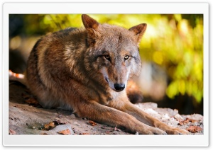 Wolf Resting HD Wide Wallpaper for 4K UHD Widescreen desktop & smartphone