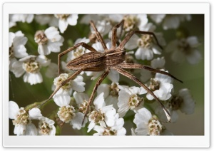 Wolf Spider - Wolfsspinne Ultra HD Wallpaper for 4K UHD Widescreen desktop, tablet & smartphone