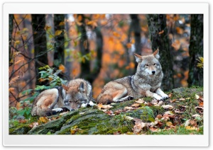 Wolfs HD Wide Wallpaper for Widescreen