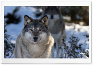 Wolves HD Wide Wallpaper for 4K UHD Widescreen desktop & smartphone
