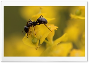 Wood Ant, Waldameise, HD Wide Wallpaper for Widescreen
