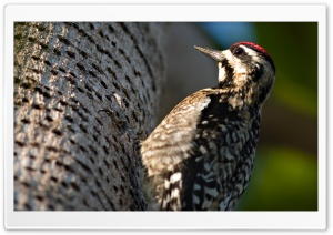 Woodpecker HD Wide Wallpaper for 4K UHD Widescreen desktop & smartphone