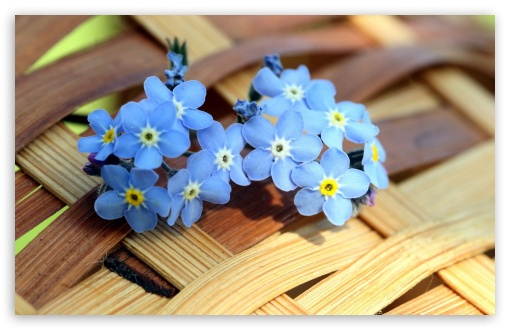 ws Blue Forget me not Flowers  HD wallpaper for Wide 16:10 5:3 Widescreen WHXGA WQXGA WUXGA WXGA WGA ; HD 16:9 High Definition WQHD QWXGA 1080p 900p 720p QHD nHD ; Standard 4:3 5:4 3:2 Fullscreen UXGA XGA SVGA QSXGA SXGA DVGA HVGA HQVGA devices ( Apple PowerBook G4 iPhone 4 3G 3GS iPod Touch ) ; Tablet 1:1 ; iPad 1/2/Mini ; Mobile 4:3 5:3 3:2 16:9 5:4 - UXGA XGA SVGA WGA DVGA HVGA HQVGA devices ( Apple PowerBook G4 iPhone 4 3G 3GS iPod Touch ) WQHD QWXGA 1080p 900p 720p QHD nHD QSXGA SXGA ;
