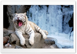 Yawning Tiger HD Wide Wallpaper for Widescreen
