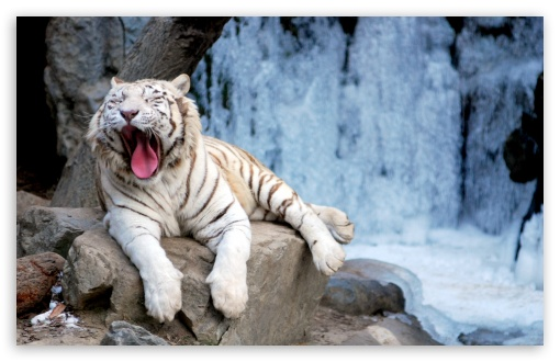 Yawning Tiger HD wallpaper for Wide 16:10 5:3 Widescreen WHXGA WQXGA WUXGA WXGA WGA ; HD 16:9 High Definition WQHD QWXGA 1080p 900p 720p QHD nHD ; Standard 4:3 5:4 3:2 Fullscreen UXGA XGA SVGA QSXGA SXGA DVGA HVGA HQVGA devices ( Apple PowerBook G4 iPhone 4 3G 3GS iPod Touch ) ; Tablet 1:1 ; iPad 1/2/Mini ; Mobile 4:3 5:3 3:2 16:9 5:4 - UXGA XGA SVGA WGA DVGA HVGA HQVGA devices ( Apple PowerBook G4 iPhone 4 3G 3GS iPod Touch ) WQHD QWXGA 1080p 900p 720p QHD nHD QSXGA SXGA ;