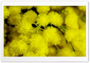 Yellow Acacia Baileyana Flowers HD Wide Wallpaper for 4K UHD Widescreen desktop & smartphone