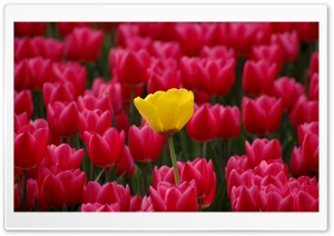 Yellow Among Red HD Wide Wallpaper for Widescreen