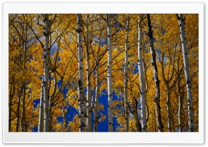 Yellow Aspen Trees in Fall Ultra HD Wallpaper for 4K UHD Widescreen desktop, tablet & smartphone