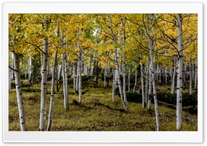 Yellow Aspens HD Wide Wallpaper for Widescreen