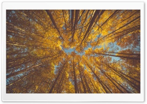 Yellow Autumn Aspen Forest Canopy Ultra HD Wallpaper for 4K UHD Widescreen desktop, tablet & smartphone
