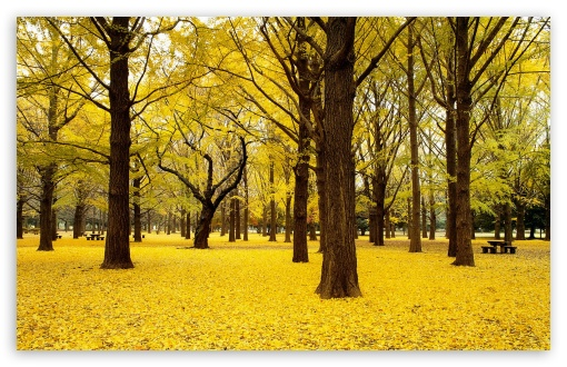 Yellow Autumn in Japan HD wallpaper for Wide 16:10 5:3 Widescreen WHXGA WQXGA WUXGA WXGA WGA ; HD 16:9 High Definition WQHD QWXGA 1080p 900p 720p QHD nHD ; Standard 4:3 5:4 3:2 Fullscreen UXGA XGA SVGA QSXGA SXGA DVGA HVGA HQVGA devices ( Apple PowerBook G4 iPhone 4 3G 3GS iPod Touch ) ; Tablet 1:1 ; iPad 1/2/Mini ; Mobile 4:3 5:3 3:2 16:9 5:4 - UXGA XGA SVGA WGA DVGA HVGA HQVGA devices ( Apple PowerBook G4 iPhone 4 3G 3GS iPod Touch ) WQHD QWXGA 1080p 900p 720p QHD nHD QSXGA SXGA ;