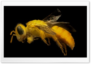 Yellow Bee HD Wide Wallpaper for Widescreen