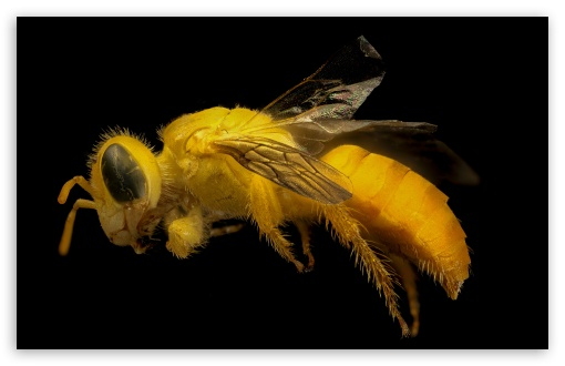 Yellow Bee ❤ 4K UHD Wallpaper for Wide 16:10 5:3 Widescreen WHXGA WQXGA WUXGA WXGA WGA ; 4K UHD 16:9 Ultra High Definition 2160p 1440p 1080p 900p 720p ; UHD 16:9 2160p 1440p 1080p 900p 720p ; Standard 4:3 5:4 3:2 Fullscreen UXGA XGA SVGA QSXGA SXGA DVGA HVGA HQVGA ( Apple PowerBook G4 iPhone 4 3G 3GS iPod Touch ) ; Smartphone 5:3 WGA ; iPad 1/2/Mini ; Mobile 4:3 5:3 3:2 16:9 5:4 - UXGA XGA SVGA WGA DVGA HVGA HQVGA ( Apple PowerBook G4 iPhone 4 3G 3GS iPod Touch ) 2160p 1440p 1080p 900p 720p QSXGA SXGA ;