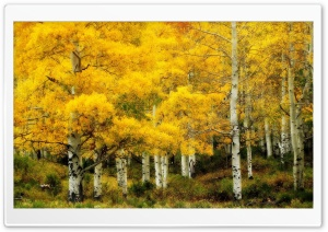 Yellow Birch, Autumn HD Wide Wallpaper for 4K UHD Widescreen desktop & smartphone