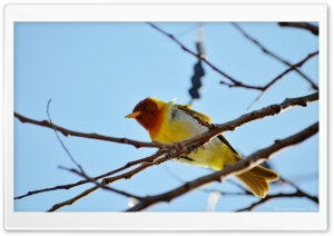 Yellow Bird HD Wide Wallpaper for Widescreen
