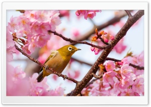 Yellow Bird on a Cherry Blossom Tree Branch HD Wide Wallpaper for Widescreen
