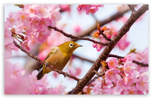Yellow Bird on a Cherry Blossom Tree Branch HD wallpaper for Wide 16:10 5:3 Widescreen WHXGA WQXGA WUXGA WXGA WGA ; HD 16:9 High Definition WQHD QWXGA 1080p 900p 720p QHD nHD ; Standard 4:3 5:4 3:2 Fullscreen UXGA XGA SVGA QSXGA SXGA DVGA HVGA HQVGA devices ( Apple PowerBook G4 iPhone 4 3G 3GS iPod Touch ) ; Smartphone 5:3 WGA ; Tablet 1:1 ; iPad 1/2/Mini ; Mobile 4:3 5:3 3:2 16:9 5:4 - UXGA XGA SVGA WGA DVGA HVGA HQVGA devices ( Apple PowerBook G4 iPhone 4 3G 3GS iPod Touch ) WQHD QWXGA 1080p 900p 720p QHD nHD QSXGA SXGA ;