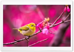 Yellow Bird Springtime HD Wide Wallpaper for Widescreen