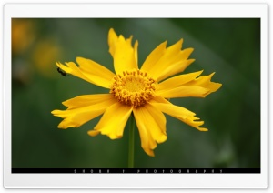 Yellow Blossom HD Wide Wallpaper for Widescreen