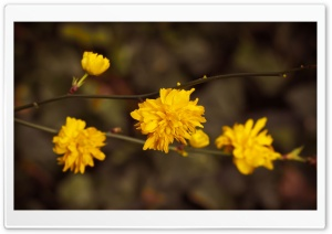 Yellow Blossoms HD Wide Wallpaper for Widescreen