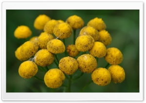 Yellow Bundle, Macro HD Wide Wallpaper for Widescreen