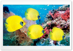 Yellow Butterfly Fish HD Wide Wallpaper for Widescreen