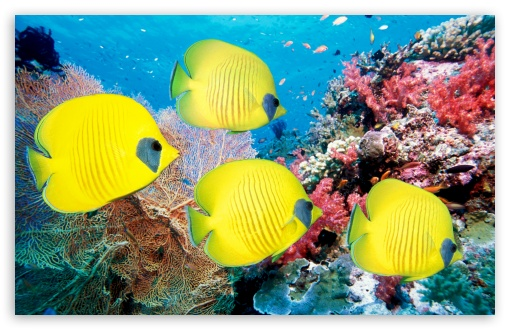 Yellow Butterfly Fish ❤ 4K UHD Wallpaper for Wide 16:10 5:3 Widescreen WHXGA WQXGA WUXGA WXGA WGA ; 4K UHD 16:9 Ultra High Definition 2160p 1440p 1080p 900p 720p ; UHD 16:9 2160p 1440p 1080p 900p 720p ; Standard 3:2 Fullscreen DVGA HVGA HQVGA ( Apple PowerBook G4 iPhone 4 3G 3GS iPod Touch ) ; Mobile 5:3 3:2 16:9 - WGA DVGA HVGA HQVGA ( Apple PowerBook G4 iPhone 4 3G 3GS iPod Touch ) 2160p 1440p 1080p 900p 720p ;