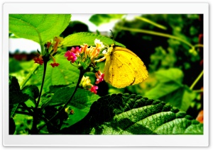 Yellow Butterfly On Flower HD Wide Wallpaper for Widescreen