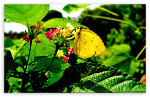 Yellow Butterfly On Flower ❤ 4K UHD Wallpaper for Wide 16:10 5:3 Widescreen WHXGA WQXGA WUXGA WXGA WGA ; 4K UHD 16:9 Ultra High Definition 2160p 1440p 1080p 900p 720p ; UHD 16:9 2160p 1440p 1080p 900p 720p ; Standard 4:3 5:4 3:2 Fullscreen UXGA XGA SVGA QSXGA SXGA DVGA HVGA HQVGA ( Apple PowerBook G4 iPhone 4 3G 3GS iPod Touch ) ; Tablet 1:1 ; iPad 1/2/Mini ; Mobile 4:3 5:3 3:2 16:9 5:4 - UXGA XGA SVGA WGA DVGA HVGA HQVGA ( Apple PowerBook G4 iPhone 4 3G 3GS iPod Touch ) 2160p 1440p 1080p 900p 720p QSXGA SXGA ; Dual 4:3 5:4 UXGA XGA SVGA QSXGA SXGA ;