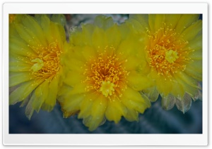 Yellow Cactus Flowers HD Wide Wallpaper for Widescreen