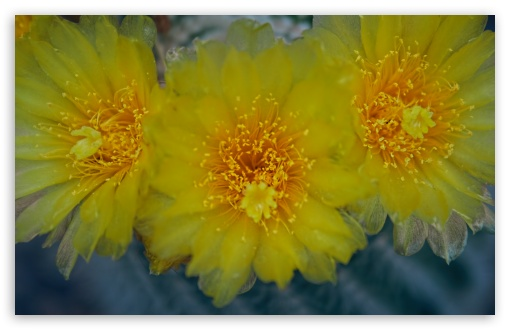 Yellow Cactus Flowers ❤ 4K UHD Wallpaper for Wide 16:10 5:3 Widescreen WHXGA WQXGA WUXGA WXGA WGA ; 4K UHD 16:9 Ultra High Definition 2160p 1440p 1080p 900p 720p ; Standard 4:3 5:4 3:2 Fullscreen UXGA XGA SVGA QSXGA SXGA DVGA HVGA HQVGA ( Apple PowerBook G4 iPhone 4 3G 3GS iPod Touch ) ; Tablet 1:1 ; iPad 1/2/Mini ; Mobile 4:3 5:3 3:2 16:9 5:4 - UXGA XGA SVGA WGA DVGA HVGA HQVGA ( Apple PowerBook G4 iPhone 4 3G 3GS iPod Touch ) 2160p 1440p 1080p 900p 720p QSXGA SXGA ;