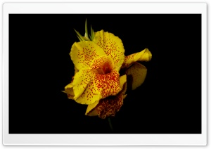 Yellow Canna HD Wide Wallpaper for Widescreen