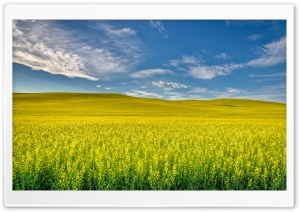 Yellow Canola Field HD Wide Wallpaper for Widescreen