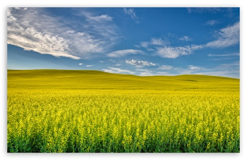Yellow Canola Field ❤ 4K UHD Wallpaper for Wide 16:10 5:3 Widescreen WHXGA WQXGA WUXGA WXGA WGA ; 4K UHD 16:9 Ultra High Definition 2160p 1440p 1080p 900p 720p ; Standard 4:3 5:4 3:2 Fullscreen UXGA XGA SVGA QSXGA SXGA DVGA HVGA HQVGA ( Apple PowerBook G4 iPhone 4 3G 3GS iPod Touch ) ; Smartphone 5:3 WGA ; Tablet 1:1 ; iPad 1/2/Mini ; Mobile 4:3 5:3 3:2 16:9 5:4 - UXGA XGA SVGA WGA DVGA HVGA HQVGA ( Apple PowerBook G4 iPhone 4 3G 3GS iPod Touch ) 2160p 1440p 1080p 900p 720p QSXGA SXGA ;